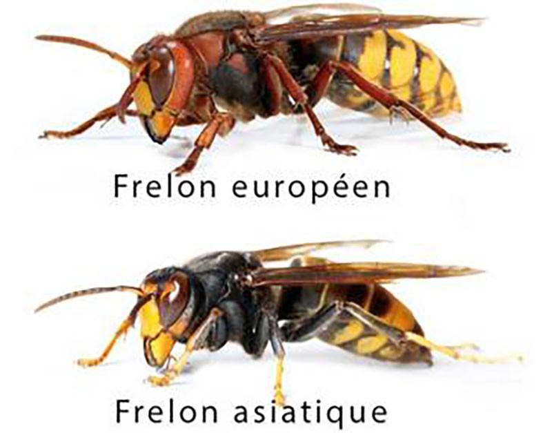 Frelons, guêpes et abeilles : que faire s'ils s'installent chez vous ?